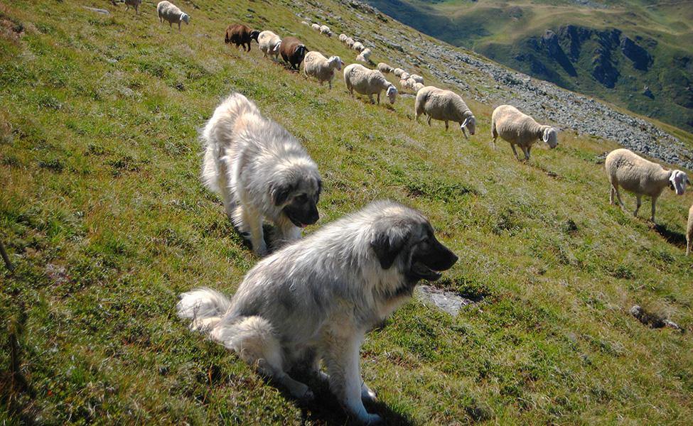 Šar planinci čuvaju ovce na Šar planini