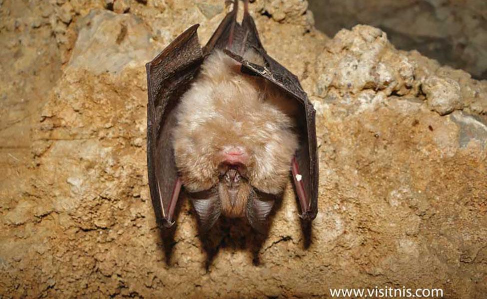 Slepi miš u Cerjanskoj pećini
