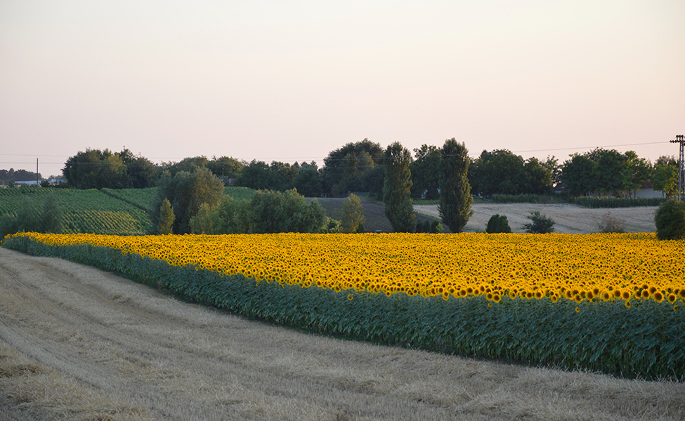 Sela u Vojvodini i prepoznatljiva panorama sa suncokretom