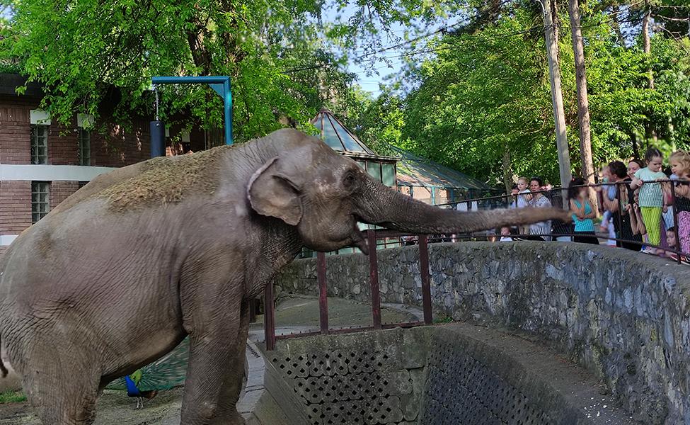 Slonica u Zoo vrtu grada Beograda
