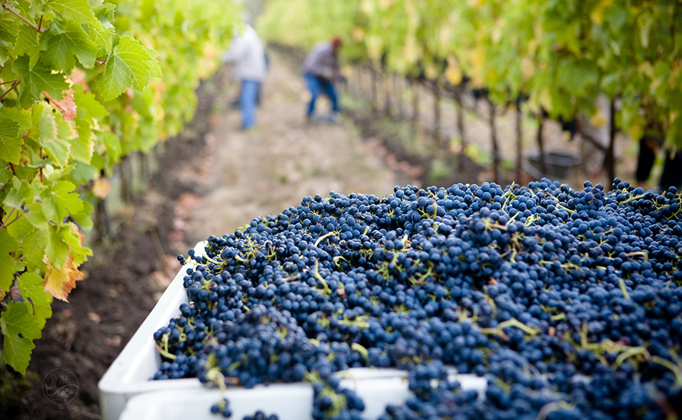 Vinogradi sa vinovom lozom