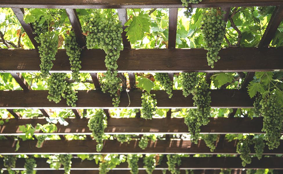 Vinova loza i grožđe