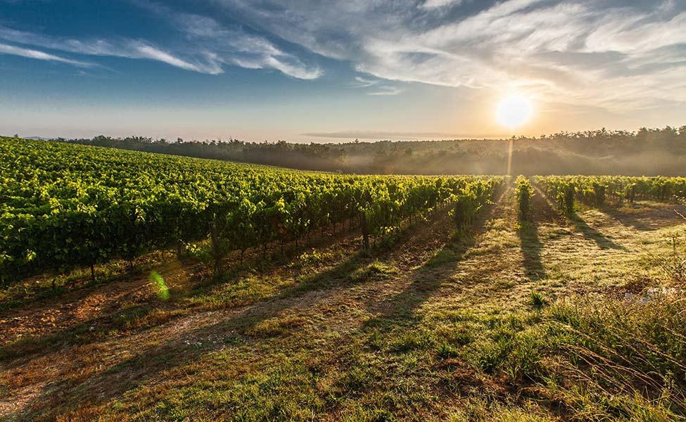 Vinogradi Srbije sa vinovom lozom