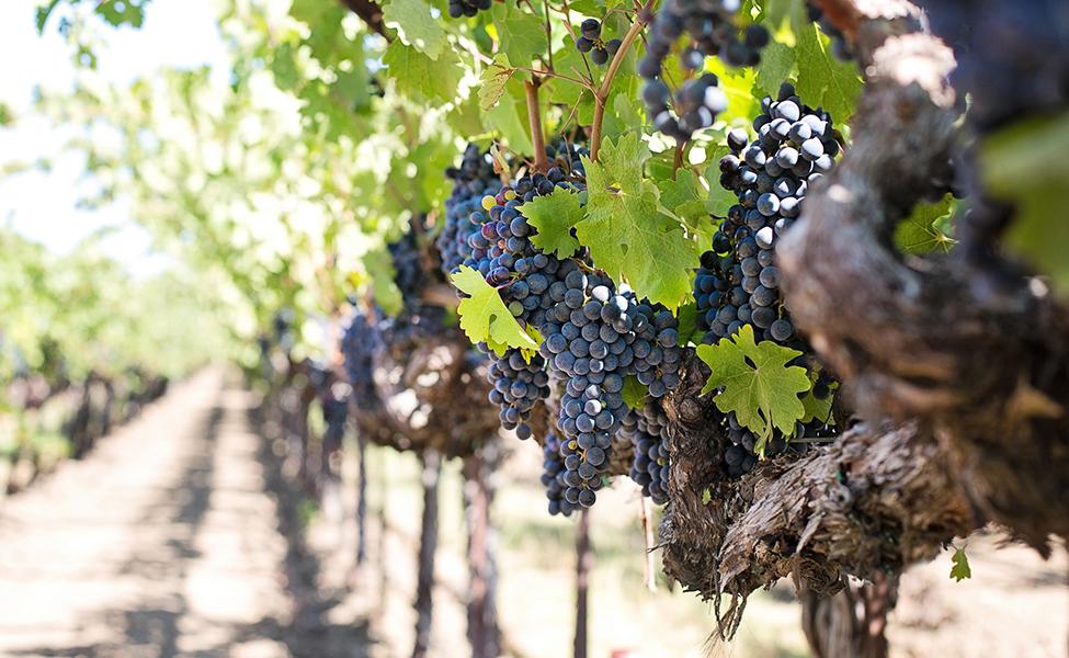 Grožđe i vinova loza