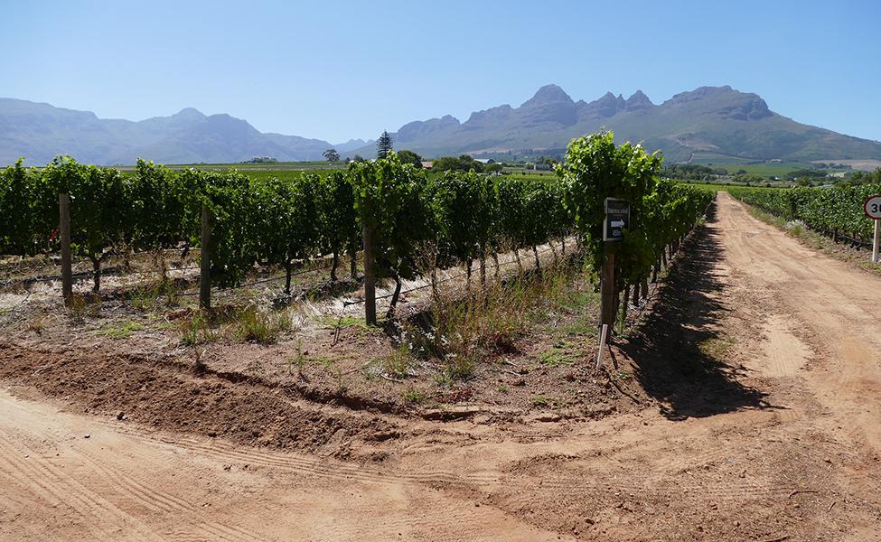 Vinogradi sa vinovom lozom na pesku