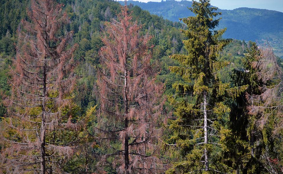 Drveće i četinari na planini Golija