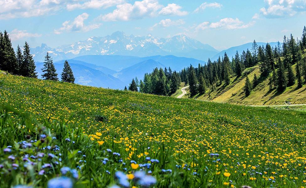 Planina sa planinskim cvećem i četinarima