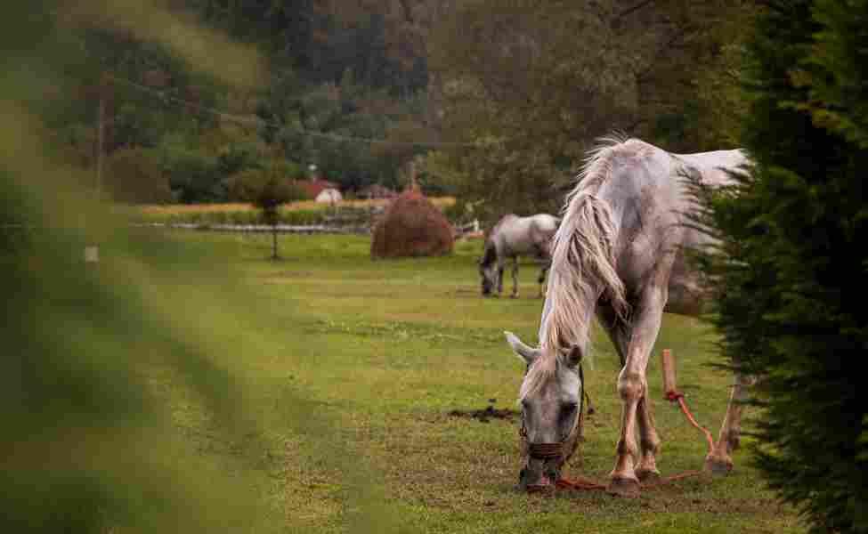 životinje u etno selu. dva bela konja