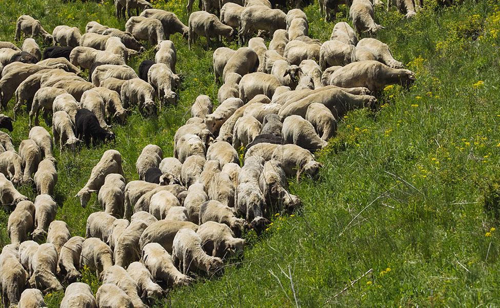 Ovčice koje pasu travu na Homoljskim planinama
