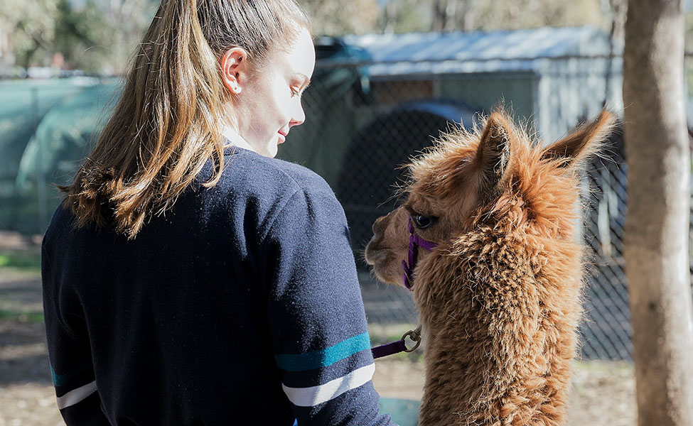 A girl walking with her alpaca